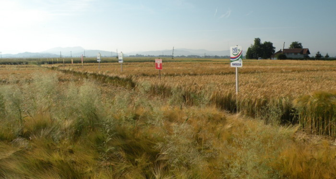 Organic cereal production field day in Slovenia