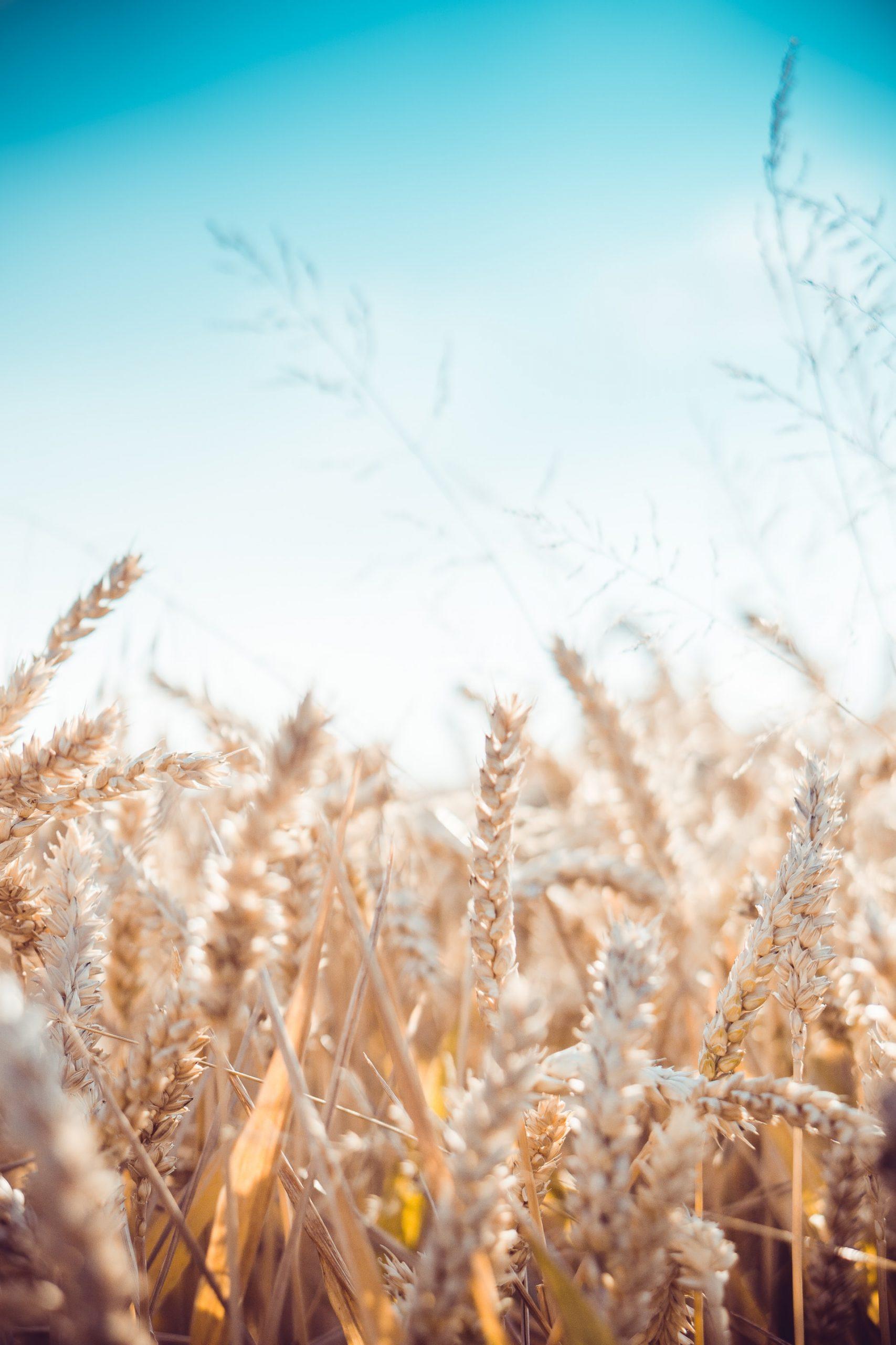 Organic wheat days in Austria